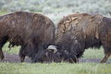 Two Bison (Bison Bison) Bulls Sparring