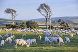 Sheep Grazing in the Green Fields of the Catlins  South Island  New Zealand  Pacific