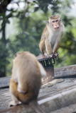 Monkeys  Royal Rock Temple  Dambulla  Sri Lanka  Asia
