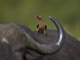 Red-Billed Oxpecker (Buphagus Erythrorhynchus)  Kruger National Park  South Africa  Africa