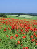 Field of Poppies  Neresheim  Swabian Alb  Baden Wurttemberg  Germany  Europe