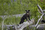 Black Bear (Ursus Americanus) Cub of the Year