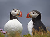 Atlantic Puffin (Fratercula Arctica) Pair  Iceland  Polar Regions