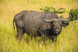 African Buffalo (Cape Buffalo) (Syncerus Caffer)