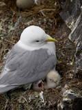 Black-Legged Kittiwake (Rissa Tridactyla) Adult and Two Chicks on the Nest  Iceland  Polar Regions