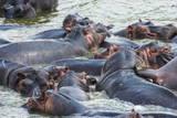 Hippopotamus (Hippopotamus Amphibious) Group Bathing in the Water