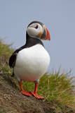 Atlantic Puffin (Fratercula Arctica)  Iceland  Polar Regions
