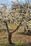 Almond Orchard in Blossom  Puglia  Italy  Europe