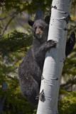 Black Bear (Ursus Americanus) Sow Climbing a Tree