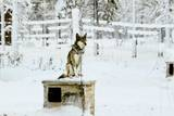 Husky on Top of its Kennel  Lapland  Finland
