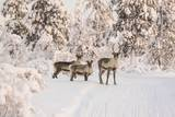 Reindeers Near Ivalo  Finland