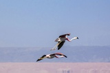 Flying Pink Flamingos from the Andes in the Salar De Atacama  Chile and Bolivia