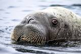 Walrus in Svalbard  Norway