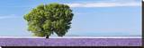 Tree in a lavender field  Provence  France (detail)