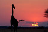 A Lone Giraffe in Silhouette Watches the Sun Set on the Horizon Deception Valley  Botswana