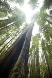 Scenic Image of Giant  Ancient Tree in Humboldt Redwoods State Park  California