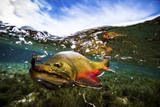 Underwater View of a Male Brook Trout in Patagonia Argentina