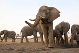 An African Elephant Cow Standing Next to a Water Hole with Her Trunk in the Air in Zimbabwe