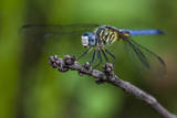 A Dragonfly in the Jean Lafitte National Historical Park and Preserve  New Orleans  Louisiana