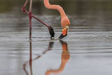 Flamingo Eating in the Galapagos Islands  Ecuador