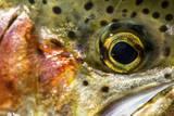 Macro Shot of a Rainbow Trout Cheek and Eye