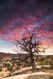 Dead Tree at Sunset  Near Moab  Utah