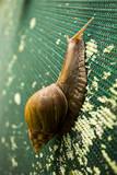 A Large Snail in Kauai  Hawaii