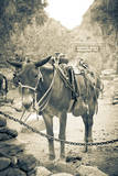Portrait of Pack Mule at Phantom Ranch  Grand Canyon National Park  Arizona