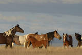 USA  Oregon  Harney County Wild Horses on Steens Mountain