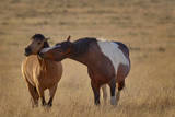 USA  Oregon  Harney County Wild Horse on Blm-Managed Steens Mountain