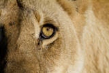 A Closeup Portrait of the Eyeball of a Lioness in Masai Mara  Kenya