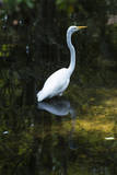 Homosassa Springs State Park  Florida: a Great Egret Fishes in the Water