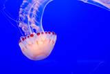 USA  California  Monterey Jellyfish at Monterey Bay Aquarium