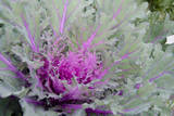 New York  Rhinebeck Detail of Green and Purple Ornamental Kale