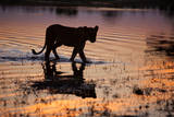 Silhouette Portrait of a Lioness Crossing Through the Water of the Savuti Channel in Botswana