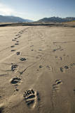 Tracks of a Grizzly Bear Family in the Mud Flats of Alsek Lake in Glacier Bay National Park  Alaska