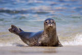 USA  California  La Jolla a Seal on a Beach Along the Pacific Coast
