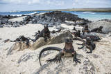 A Group of Marine Iguanas Pose on the Rocks  Galapagos Islands  Ecuador