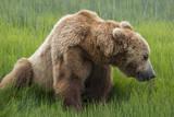 USA  Alaska  Brown Bear