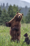USA  Southeast Alaska  Brown Bear and Cub