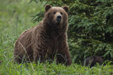 USA  Southeast Alaska  Brown Bear