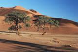 Acacia Trees in Elim Dune  Namib-Naukluft  Namibia