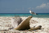 Belize  Laughing Bird Caye Laughing Gull on Driftwood