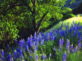 USA  California  Sierra Nevada Lupine Wildflowers in the Forest