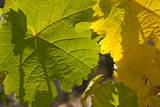China  Ningxia Riesling Leaves in Dragon's Hollow Winery Vineyard