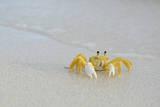 Caribbean  British Virgin Islands  Anegada Ghost Crab