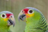 Belize  Belize City  Belize City Zoo Pair of Red-Lored Parrots