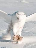 USA  Minnesota  Vermillion Snowy Owl Catching Prey