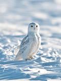 USA  Minnesota  Vermillion Snowy Owl Perched on Snow