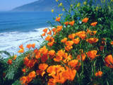 USA  California  California Poppies Along the Pacific Coast